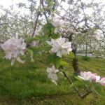 さんさんファーム森の家周辺りんごの花